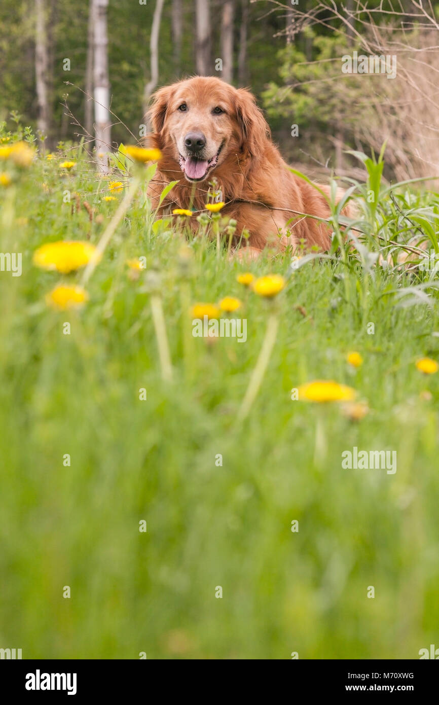 Golden retriever dog resting in a meadow with wildflowers - Stock Image