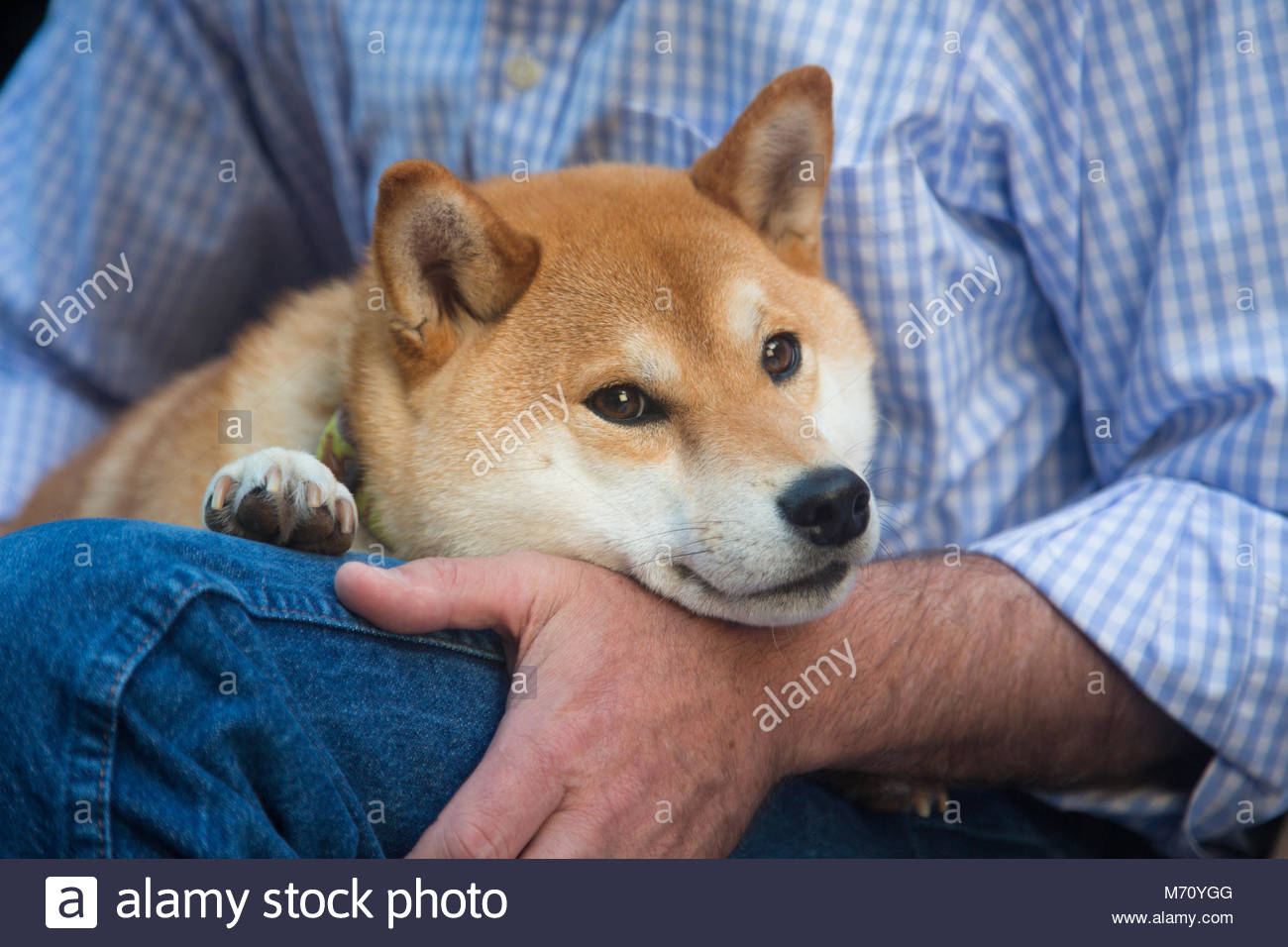 Close-up of red and white Shiba Inu resting chin on a sitting mans hand - Stock Image