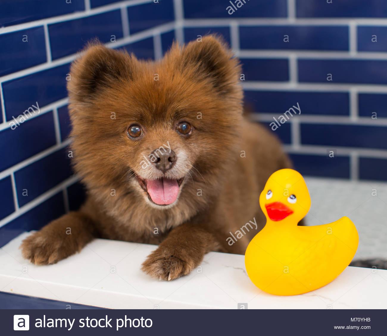 Happy Pomeranian mix lying in pet bath next to yellow rubber duck ...