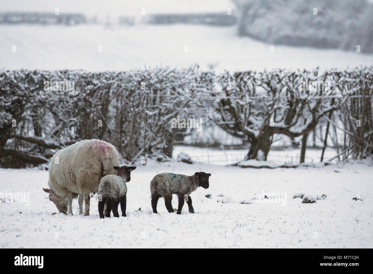 A ewe sheep and her lambs seeking protection from the heavy overnight snowfall and freezing temperatures in an upland - Stock Image