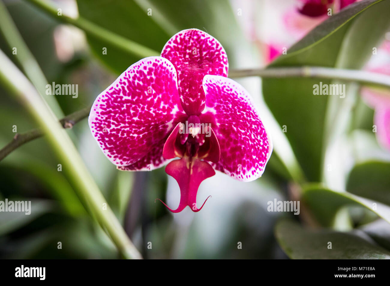 Orchid Orchidée Orchids purple red yellow white - Stock Image
