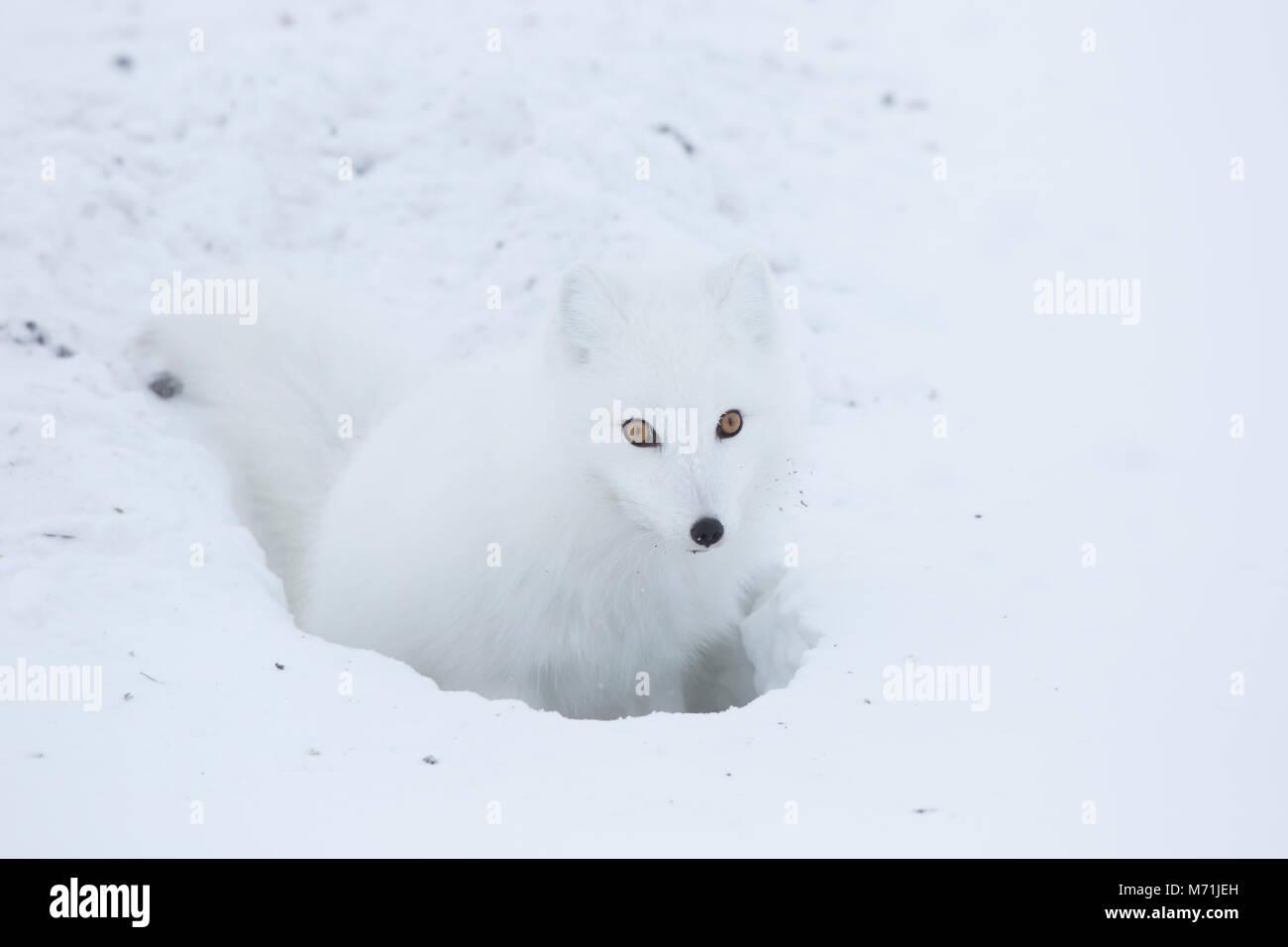 01863-01709 Arctic Fox (Alopex lagopus) at food cache, Cape Churchill, Wapusk National Park, Churchill, MB Canada - Stock Image