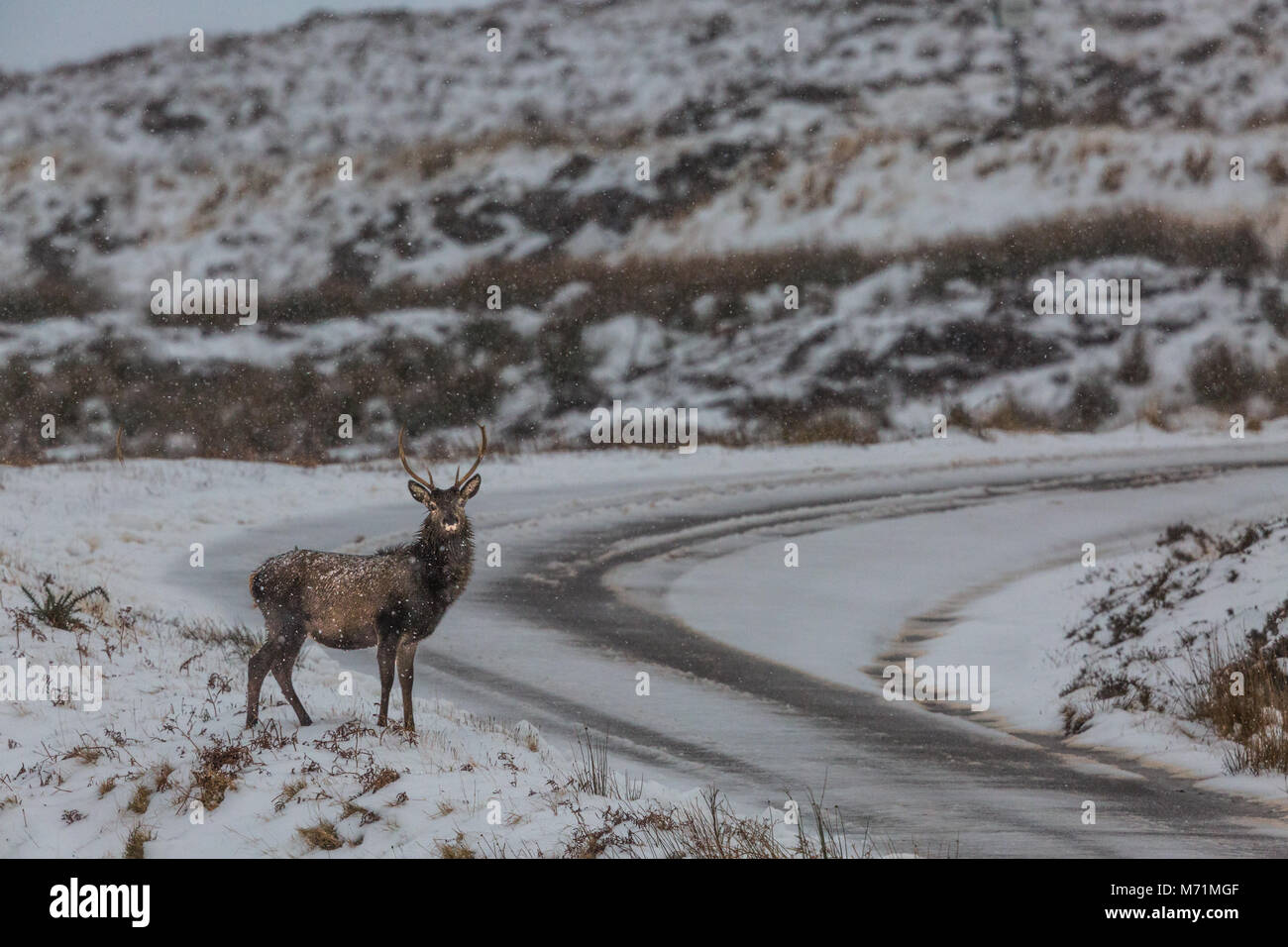 Red Deer stag on Bealach Na Ba, Applecross, Scotland - Stock Image
