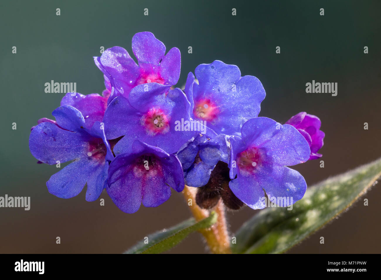 Pink Centred Blue Flowers Of The Spring Flowering Hardy Perennial