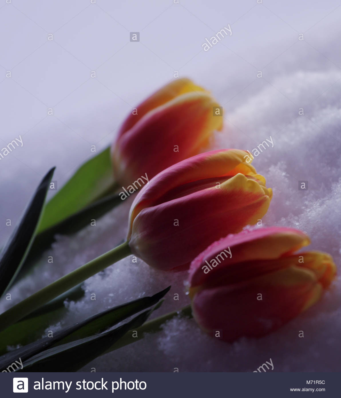 Tulip Lantern Stock Photos Tulip Lantern Stock Images Alamy