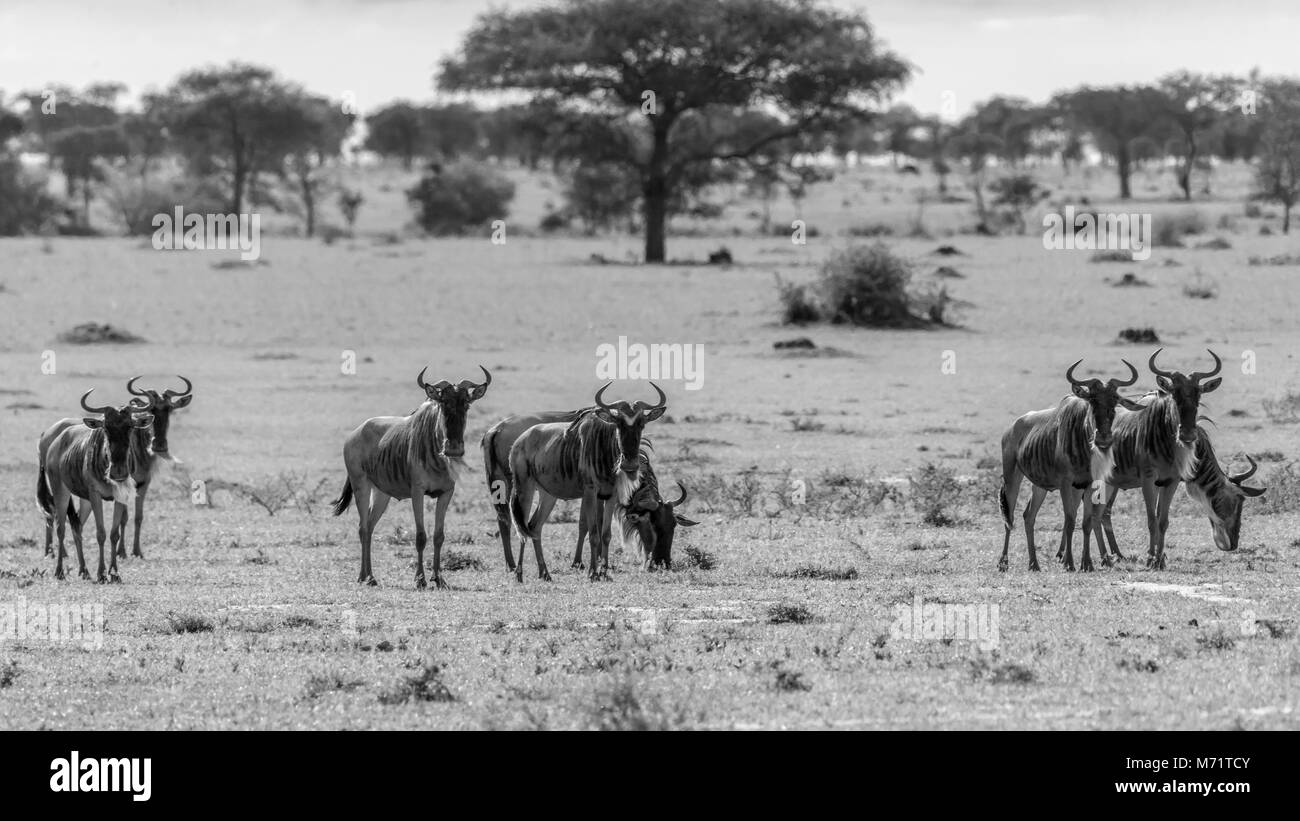 Watching wildebeest, Grumeti Game Preserve, Serengeti, Tanzania - Stock Image