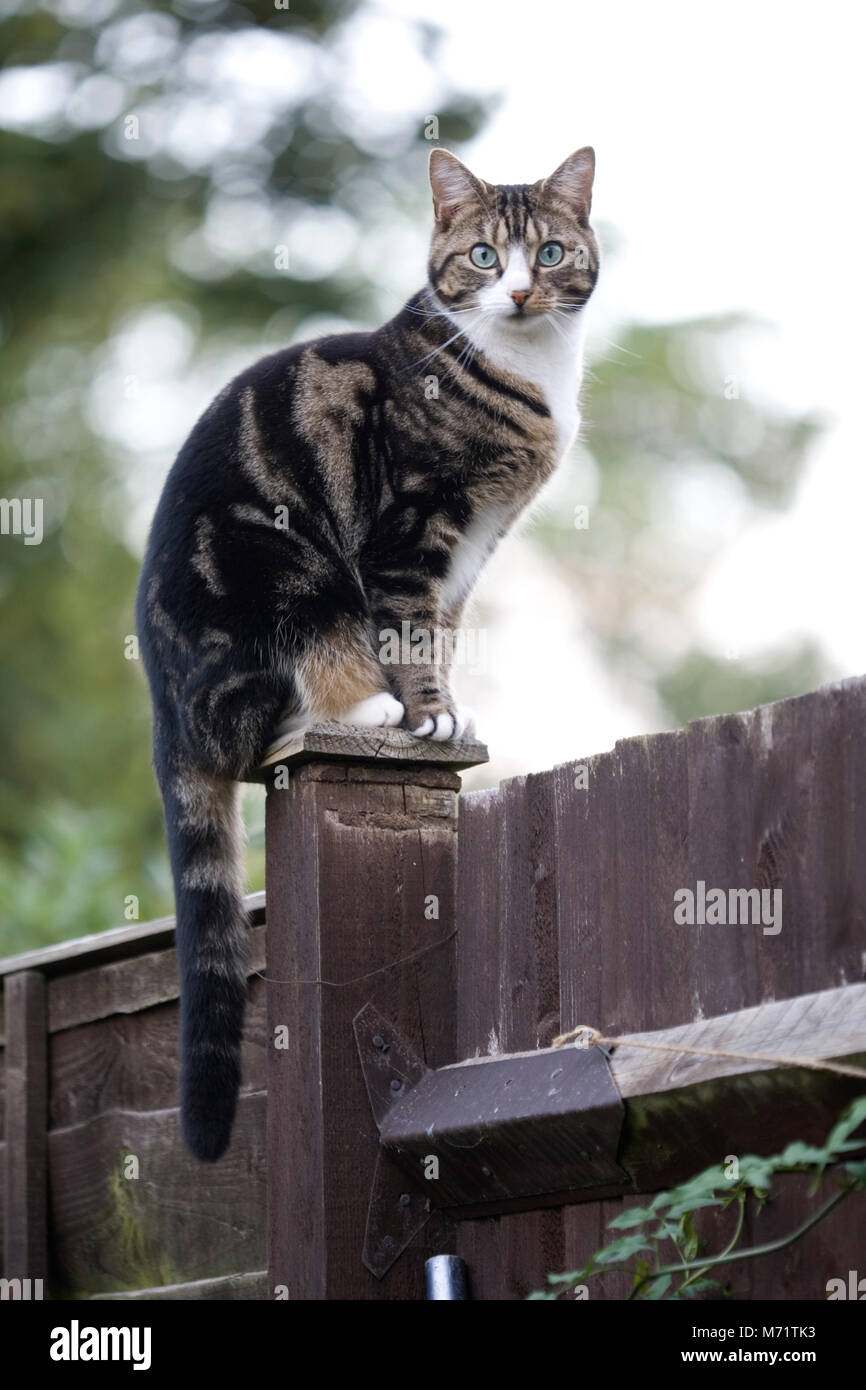 Domestic cat standing on fence post, London - Stock Image