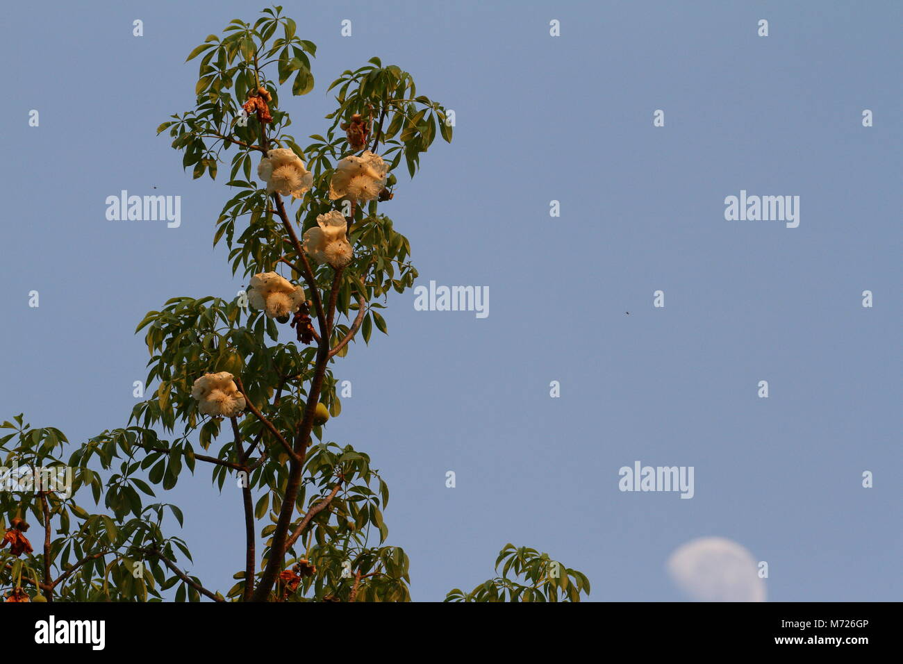 Baobab flowers and the moon - Stock Image