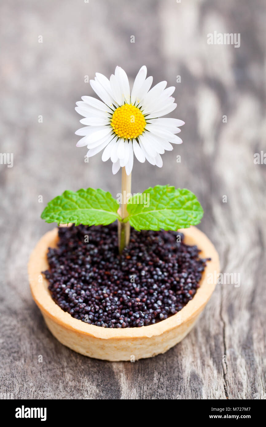 Homemade  chocolate caramel tartlet with poppy seeds and sugar. Creative garnish with real daisy and mint leaves. - Stock Image