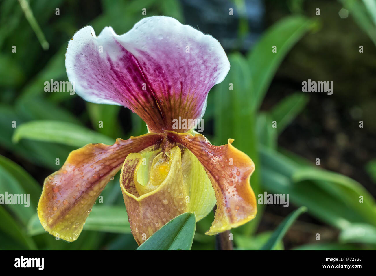 Paphiopedilum gratrixianum or slipper Orchid is a species of plant in the Orchidaceae family found from Laos to - Stock Image