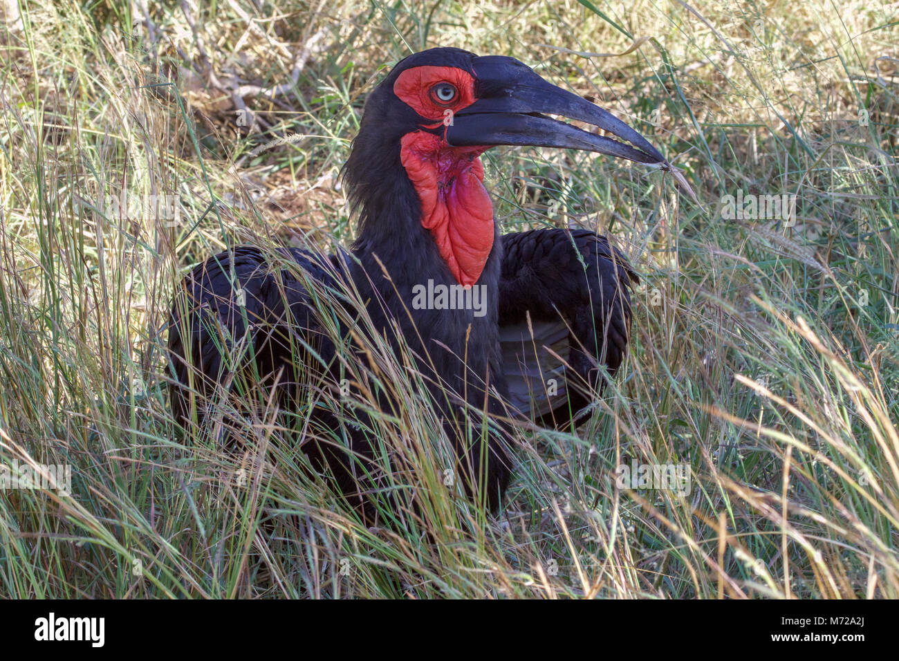 a groung hornbill in the Kruger National Park South Africa - Stock Image