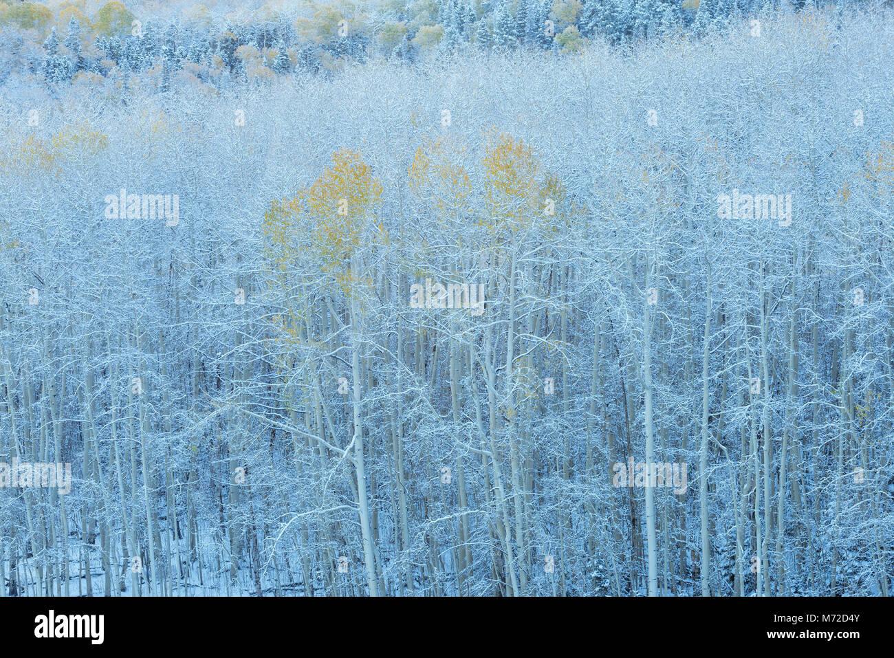 Aspen in Snow, Wilson Mesa, Uncompahgre National Forest, Colorado - Stock Image
