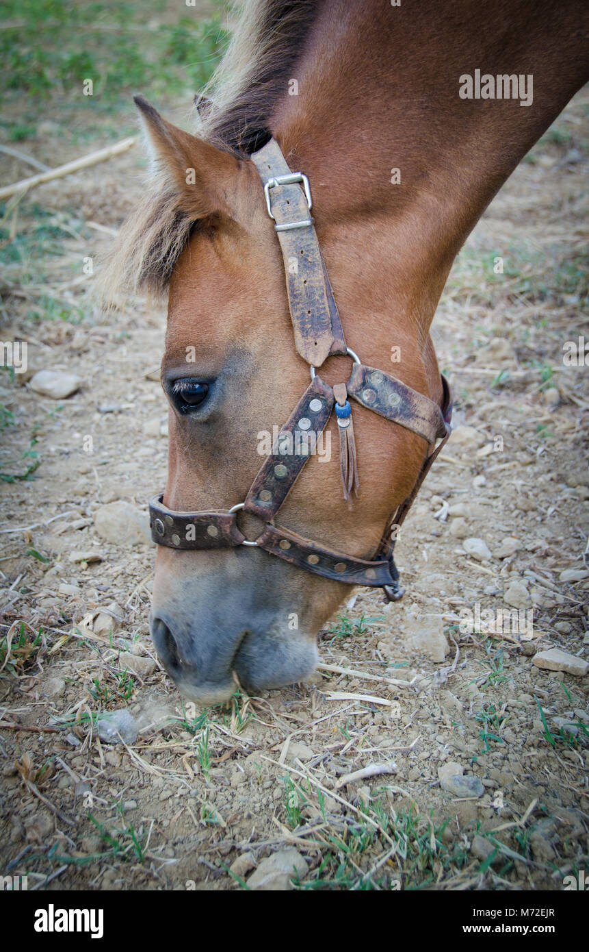 The Small Bodied Greek Skyrian Horse Is One Of The Rarest Horse Stock Photo Alamy