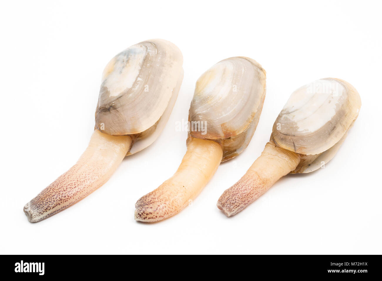 Common otter clams-Lutraria lutraria- washed up at Studland ,Dorset following Storm Emma and freezing conditions, - Stock Image