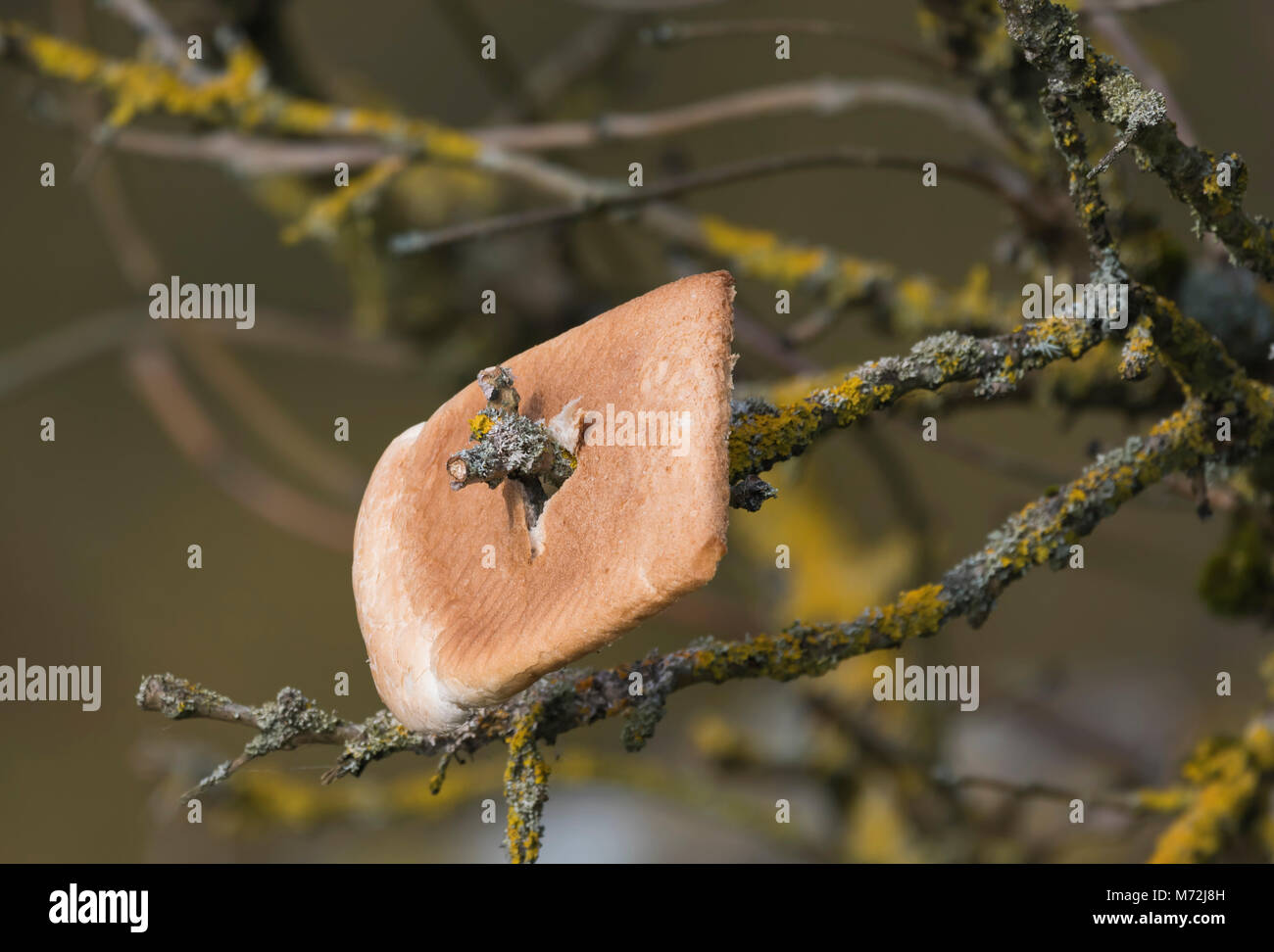 Slice of white bread impaled on a twig of a tree, attracting birds to feed for wildlife photographers. Bird bait, - Stock Image