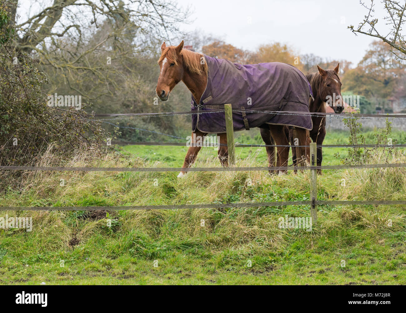 Cold horses standing in a field wearing equine rugs in Winter in the UK. - Stock Image