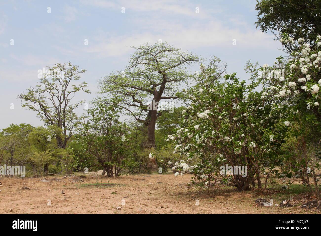 Holarhenna pubescens and Baobab - Stock Image