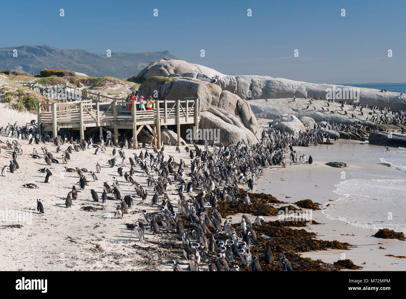 The penguin colony at Boulders beach in Cape Town. - Stock Image