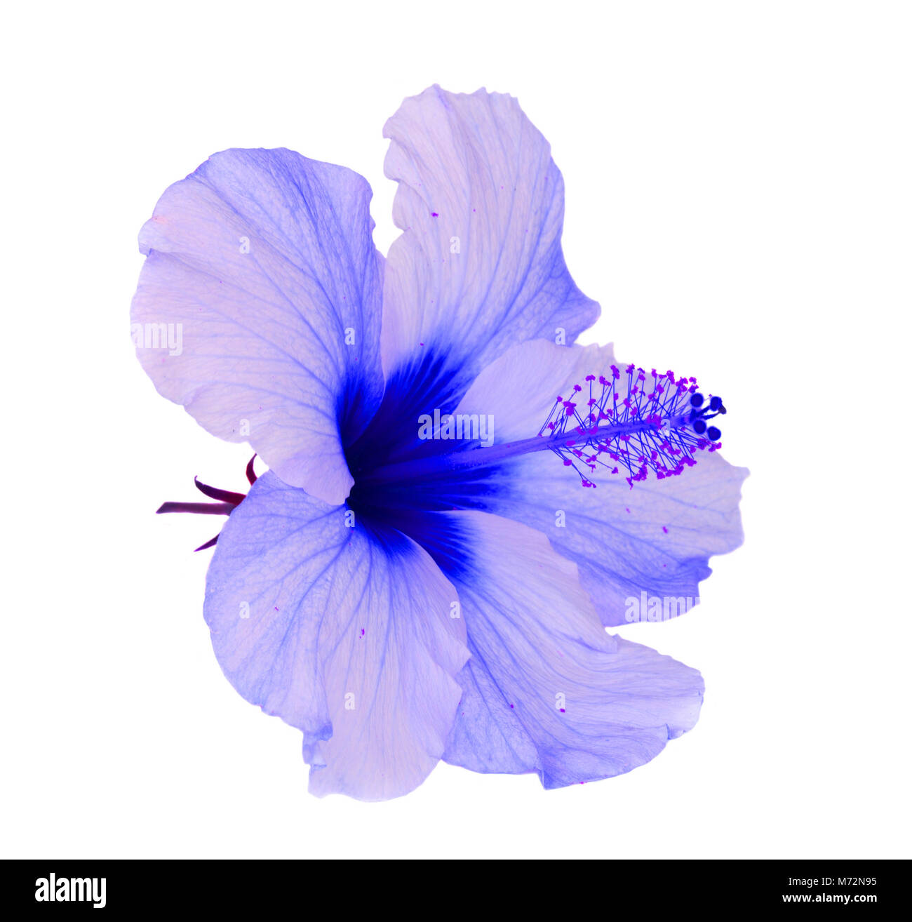 Blue Hibiscus Cut Out Stock Images Pictures Alamy