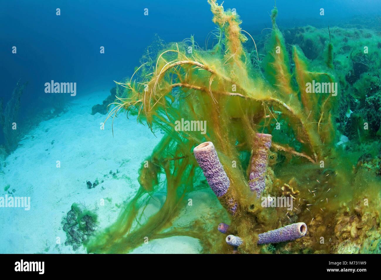 Algae overrun a dead coral reef, Curacao, Netherlands Antilles, Caribbean, Caribbean sea - Stock Image