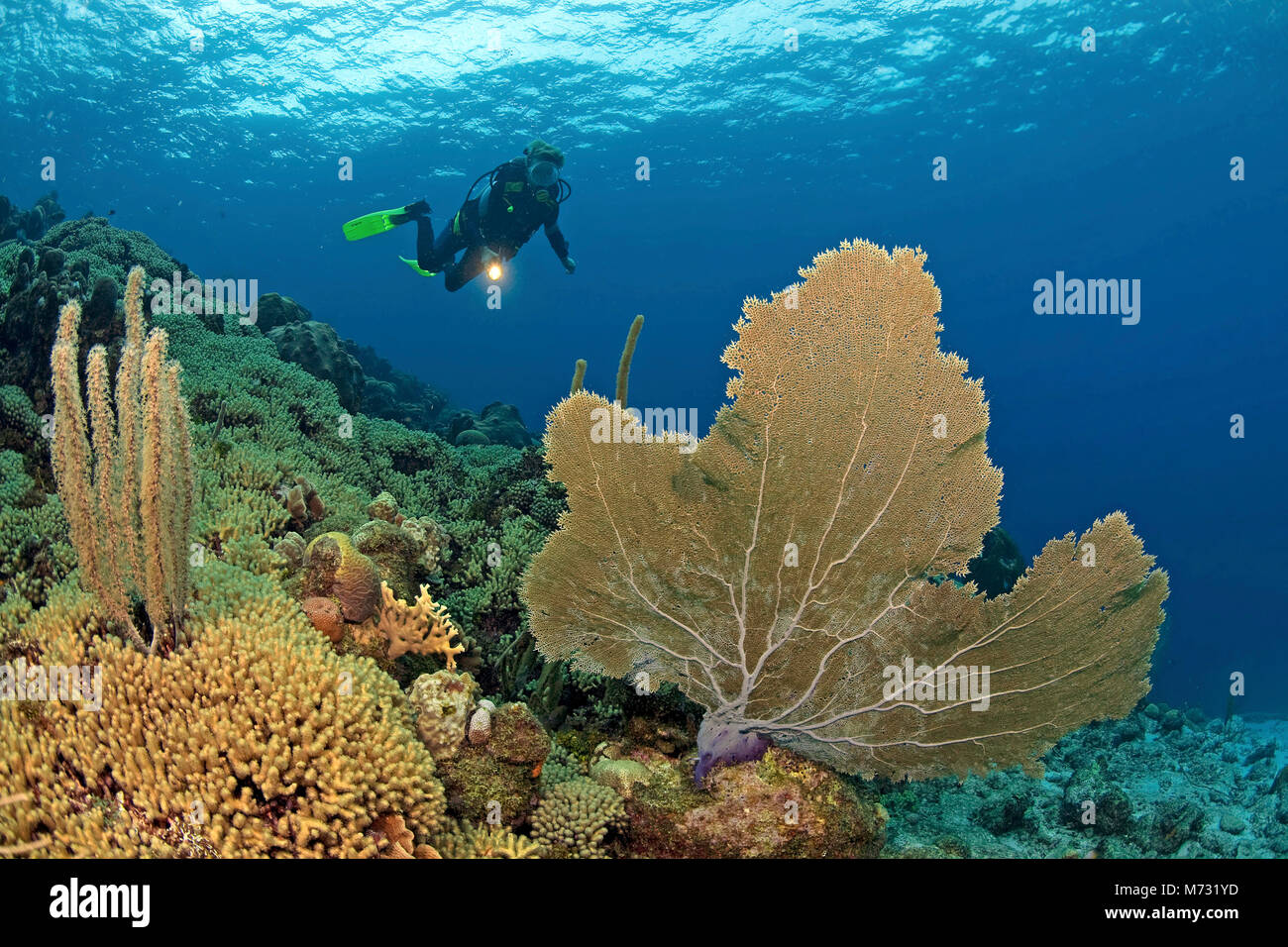Scuba diver in caribbean coral reef with a giant seafan (Gorgonia ventalina), Curacao, Netherland Antilles, Caribbean, - Stock Image