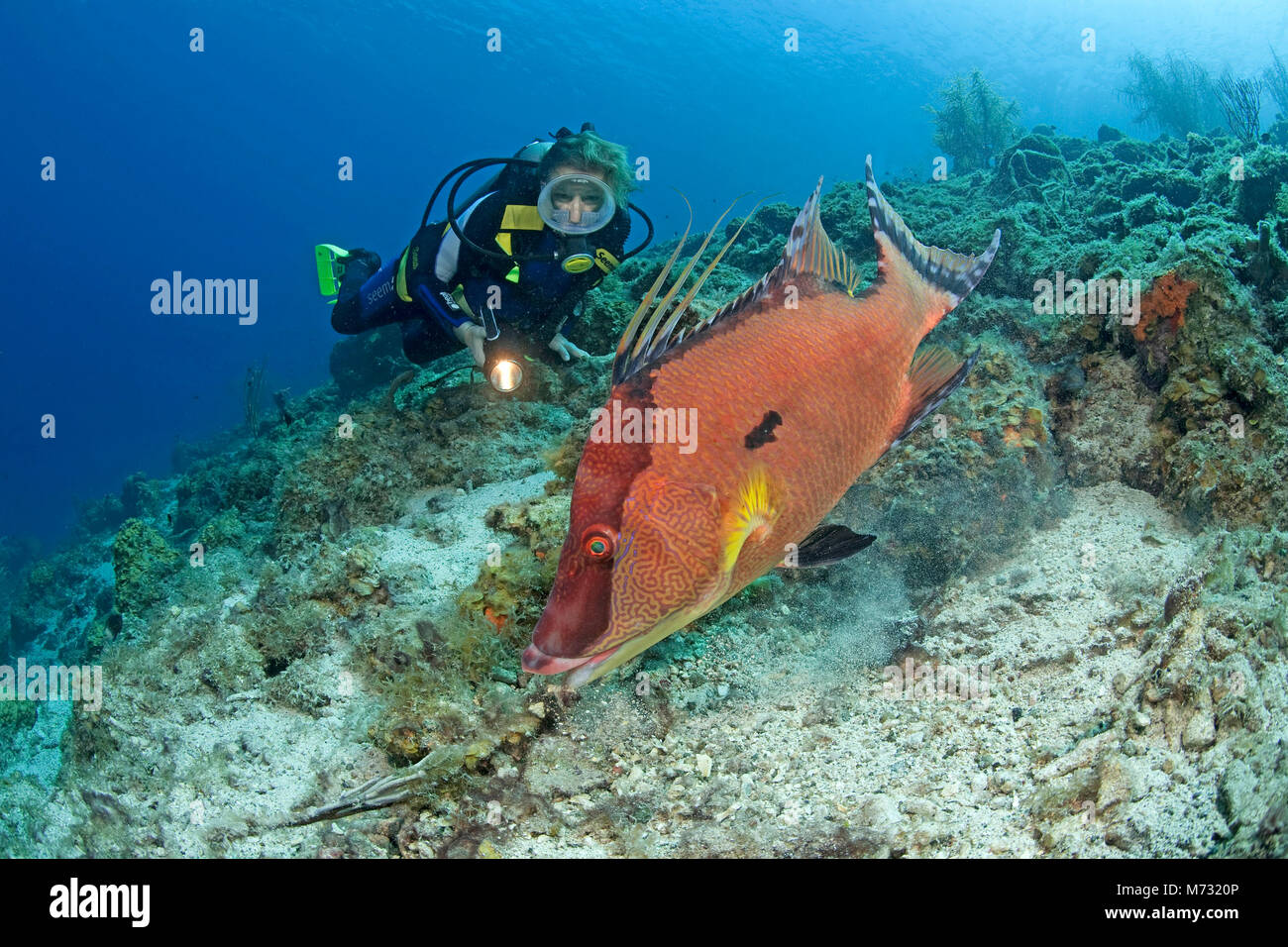 Scuba diver watches a Hogfish (Lachnolaimus maximus), caribbean coral reef at Curacao, Netherlands Antilles, Caribbean, - Stock Image