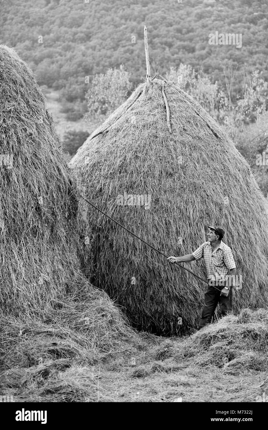 Farmer throwing up hay to the haystack - Stock Image