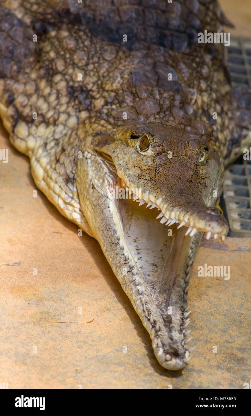 Saltwater crocodile (Estuarine crocodile) - Stock Image