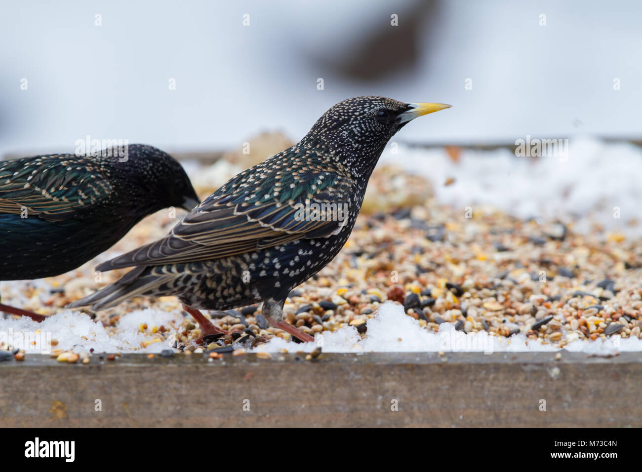 Starling. on snow covered bird table. British Isles. - Stock Image