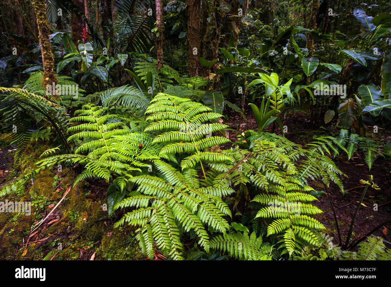 Vegetation on the cloud forest floor in La Amistad National Park, Chiriqui province, Republic of Panama. Stock Photo
