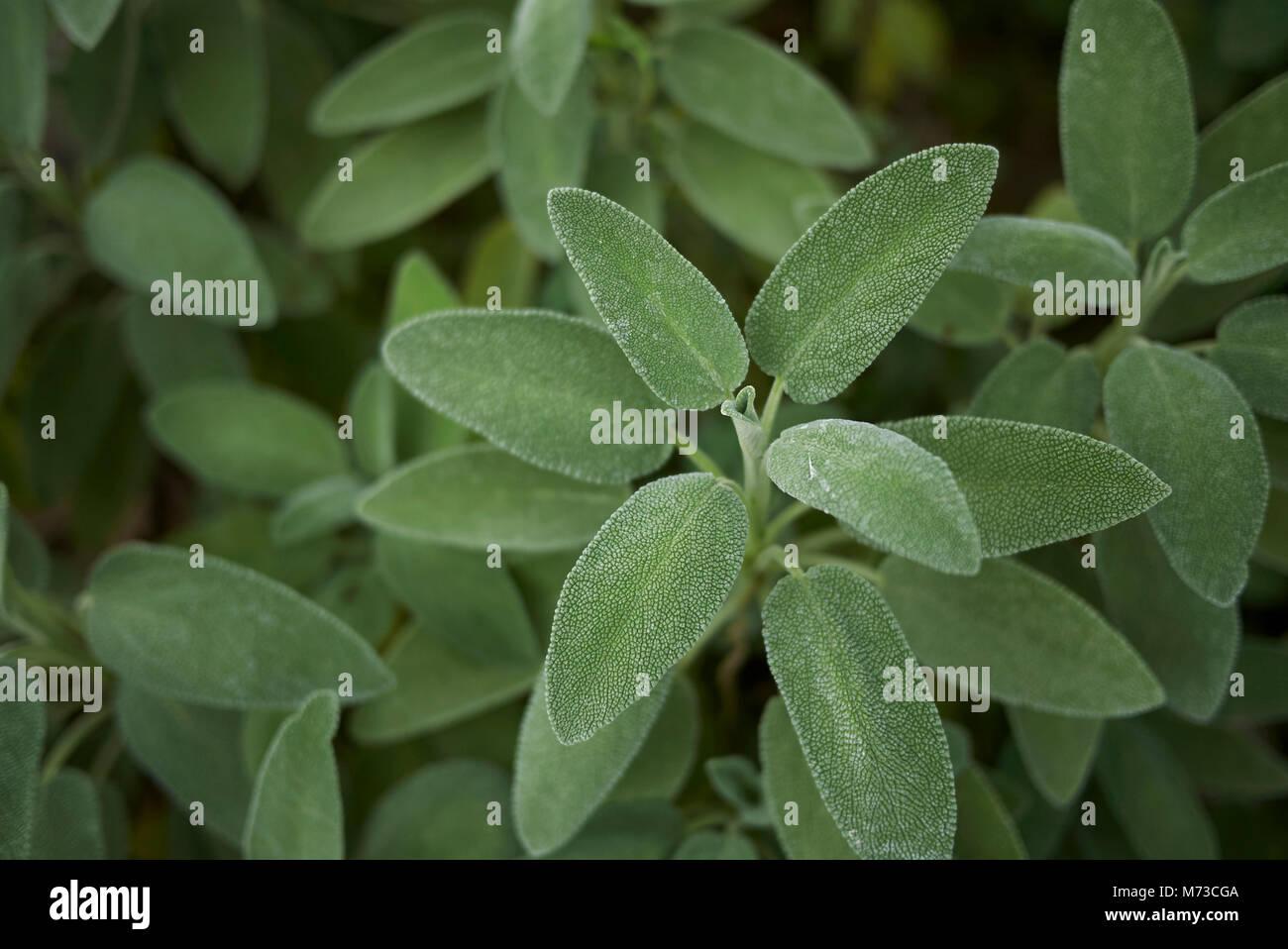 salvia officinalis close up - Stock Image