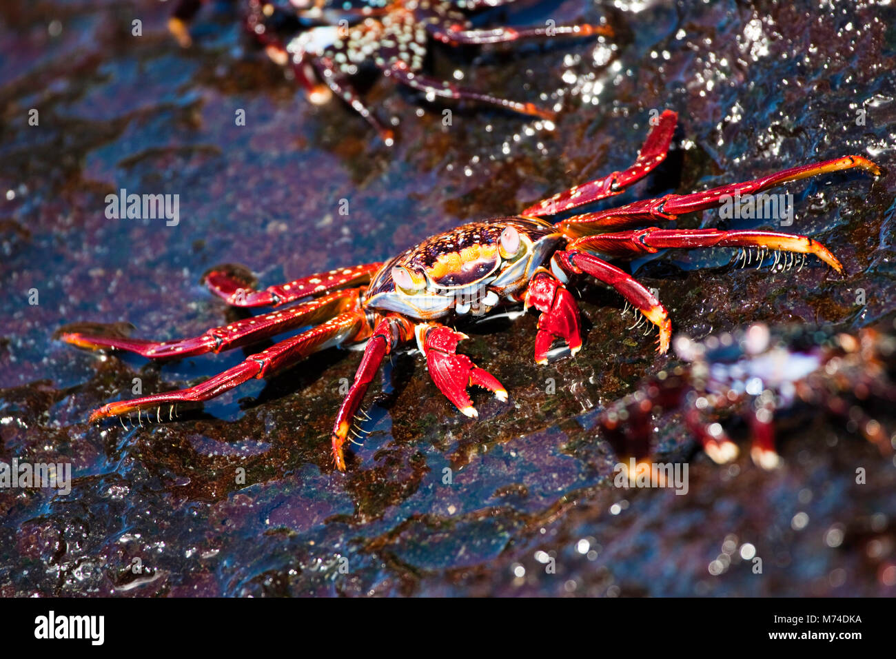 A Sally Lightfoot Crab, Graspus graspus, searching for algae to dine on in the intertidal zone, Santa Cruz Island, - Stock Image