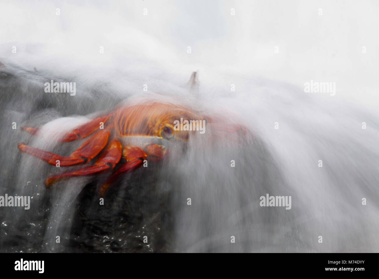 A wave washes over a Sally Lightfoot Crab, Graspus graspus, searching for algae to dine on in the intertidal zone, - Stock Image