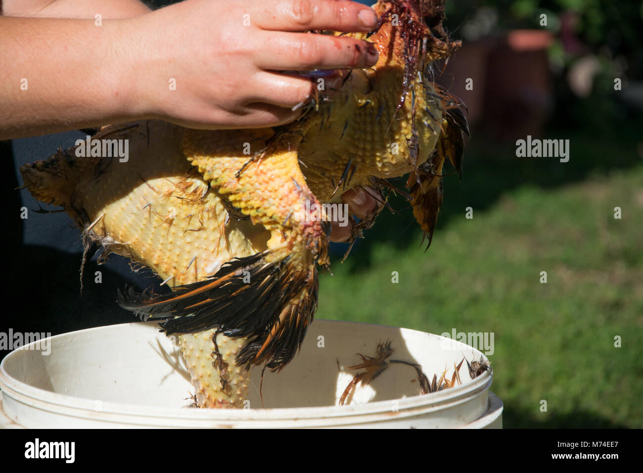 Authentic farm life. Close Up of woman hands that tear off the feathers of the hen - Stock Image