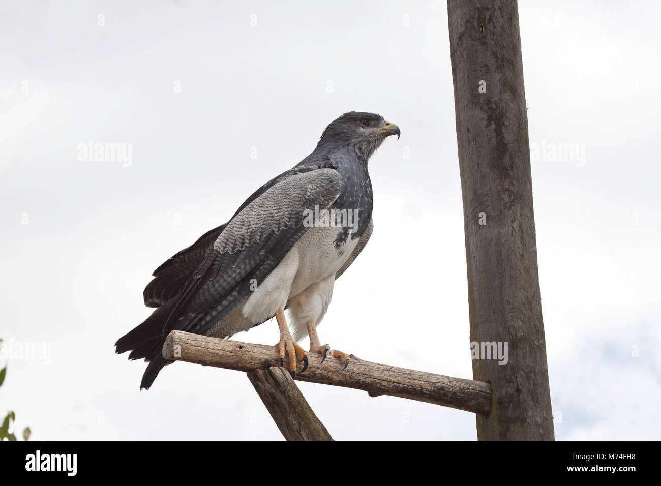 Black-chested Buzzard-Eagle, Geranoaetus melanoleucus, is a bird of prey of the hawk and eagle family (Accipitridae). - Stock Image