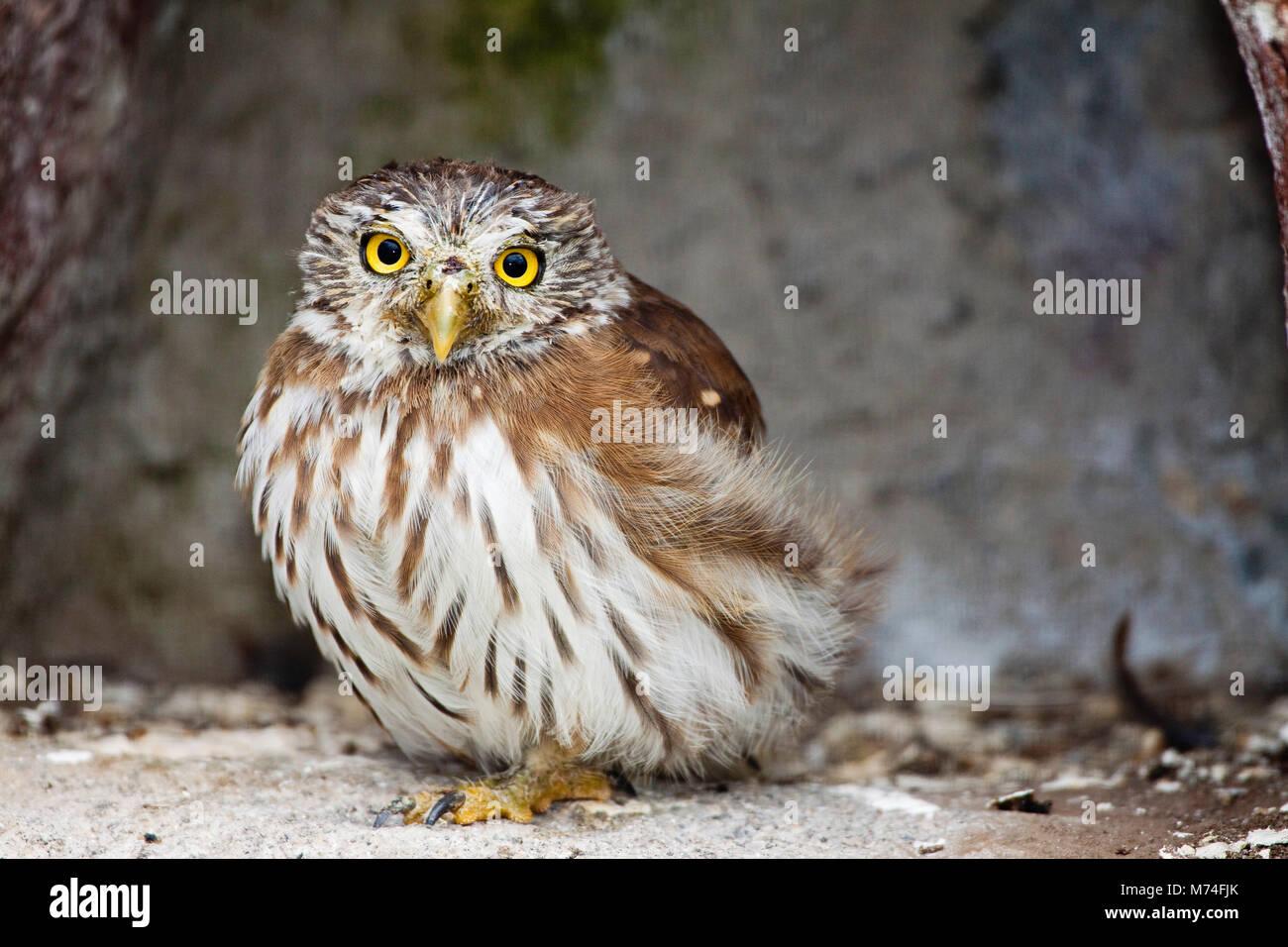 The Peruvian Pygmy-owl, Glaucidium peruanum, is a species of owl in the Strigidae family. It is found in Ecuador - Stock Image