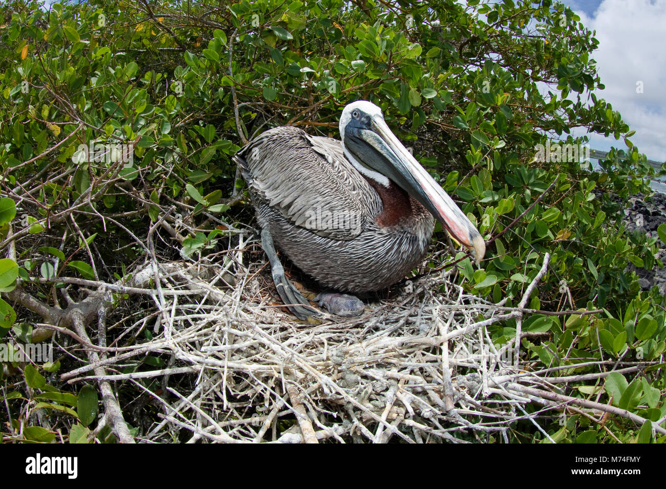 A brown Pelican, Pelecanus occidentalis, tends it's young, visible under the adult, in a nest on Santa Cruz - Stock Image