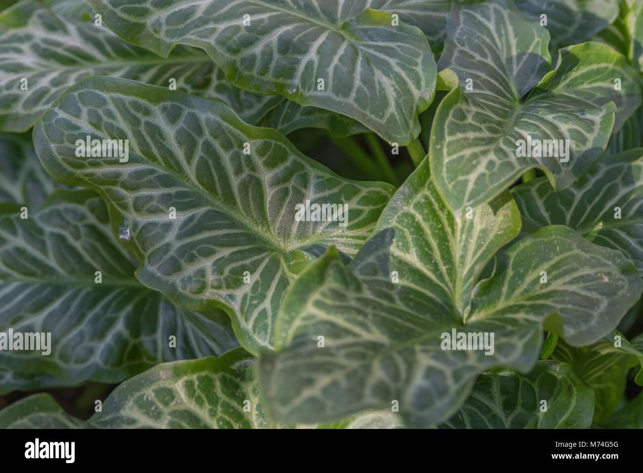 Variegated Leaves Foliage Of Arum Italicum Italian Lords And