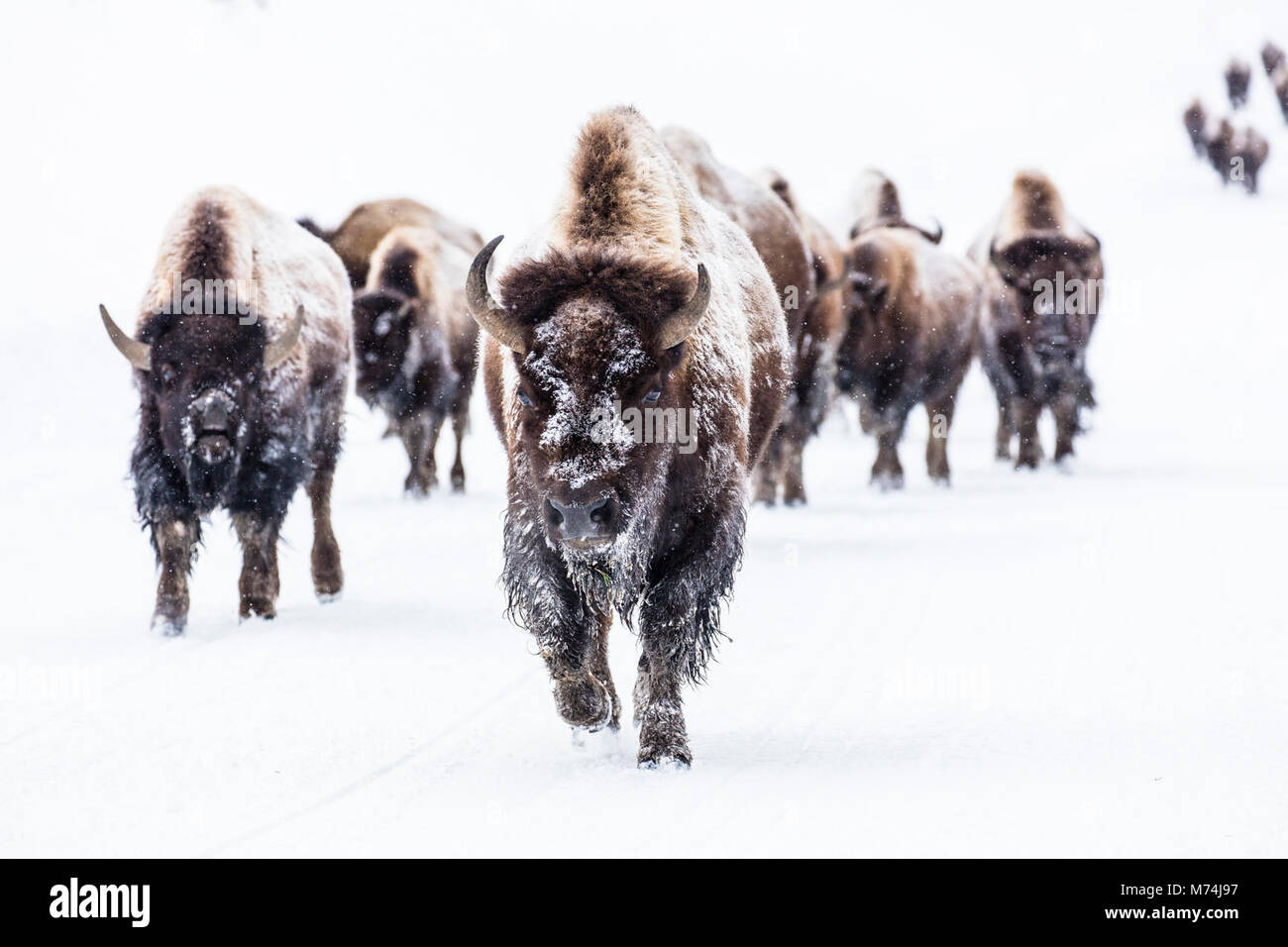 Bison group in the road near Frying Pan Spring. - Stock Image