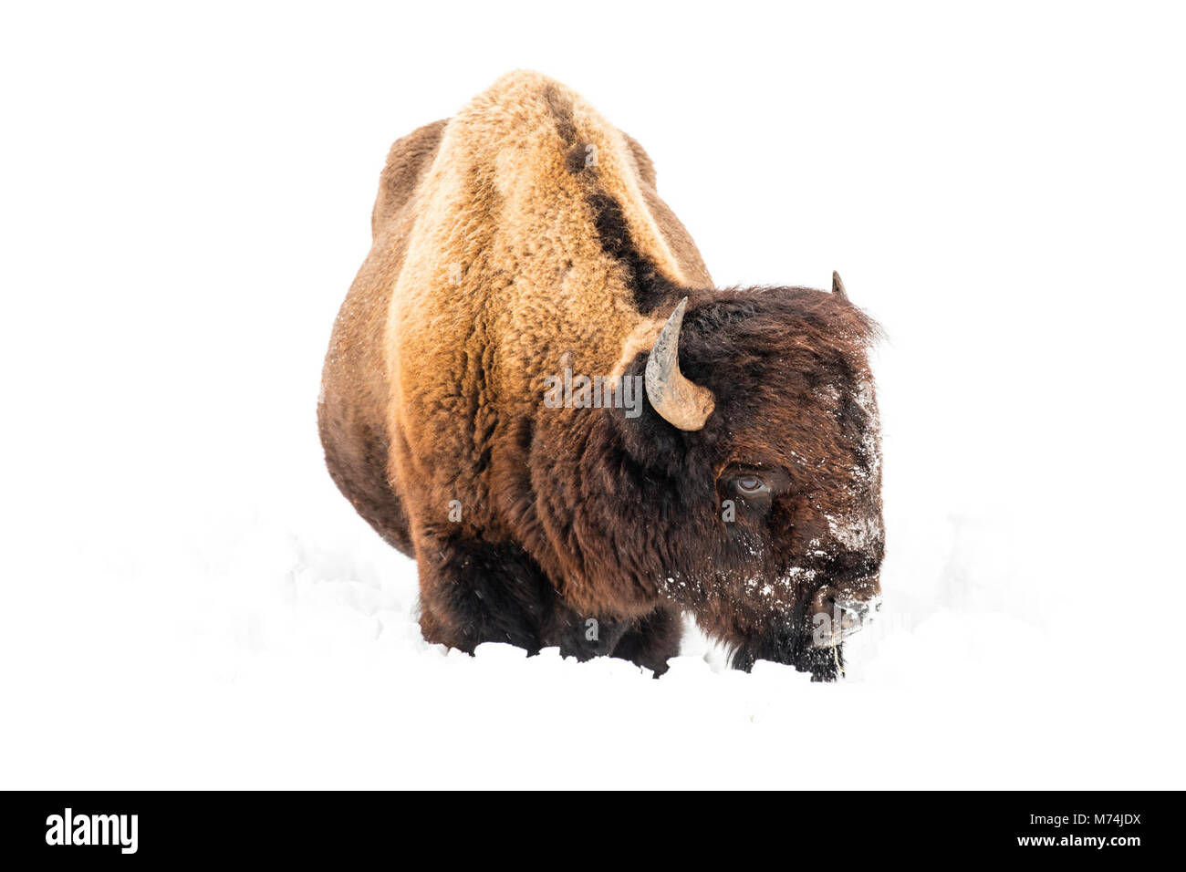 Bison resting in the snow in Lamar Valley. - Stock Image