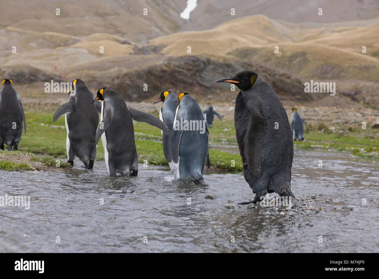 Rare black king penguin, Aptenodytes patagonicus close up, eye contact with genetic mutation melanism, at Fortuna - Stock Image
