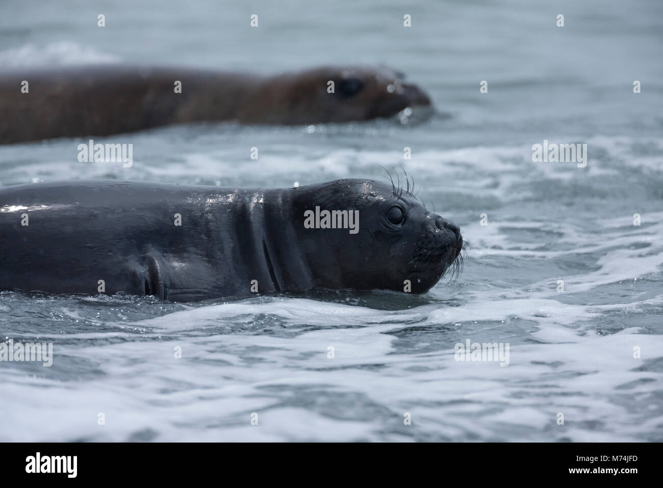 Close up female elephant seals Mirounga leonina swimming in calm foamy ocean 2nd seal in soft focus background Fortuna - Stock Image