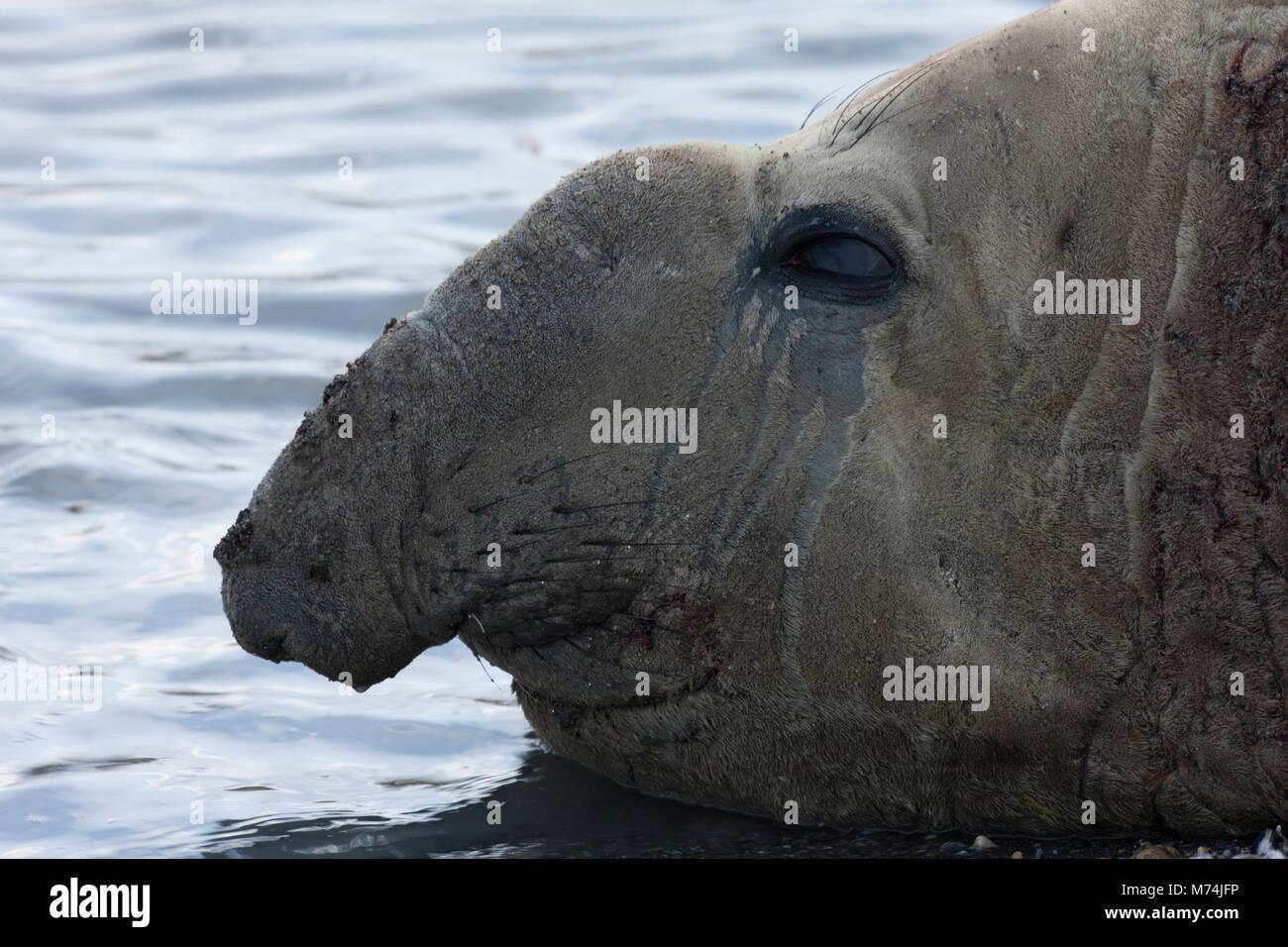 Close up ugly male elephant seal head profile elephant like trunk nose, Mirounga leonina in shallow water St Andrews Stock Photo