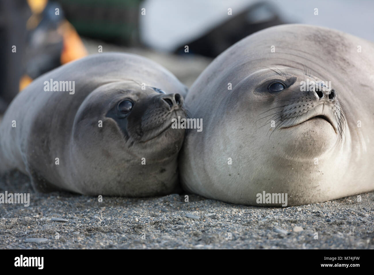 Close up faces of 2 cute female elephant seals snuggled together on beach soft fur, big black eyes, St Andrews Bay - Stock Image