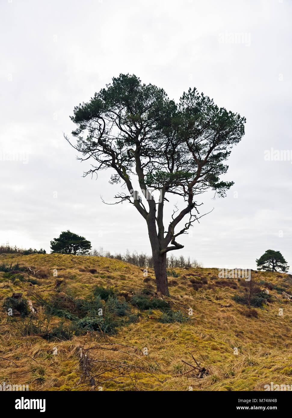 Scots Pine in winter. Wilsontown, Forth, Lanarkshire, Scotland, United Kingdom, Europe - Stock Image