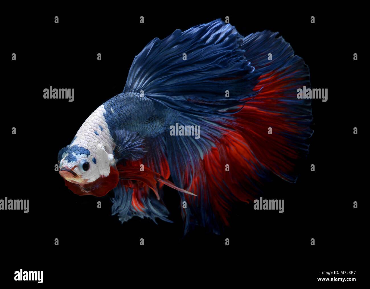 Fancy monster white head betta or saimese fighting fish like the dragon swiming . Stock Photo