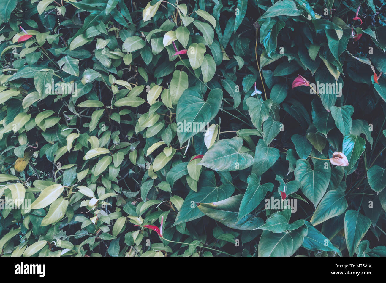 anthurium or flamingo and tropical ivy tree wall in the vertical garden on the building. nature background. vintage - Stock Image