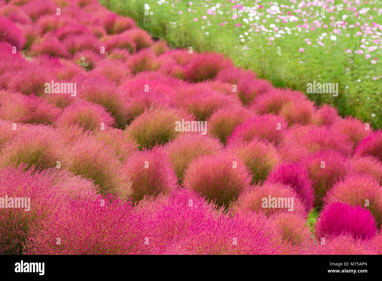 beautiful kochia are changing color and field of cosmos flowers in ...