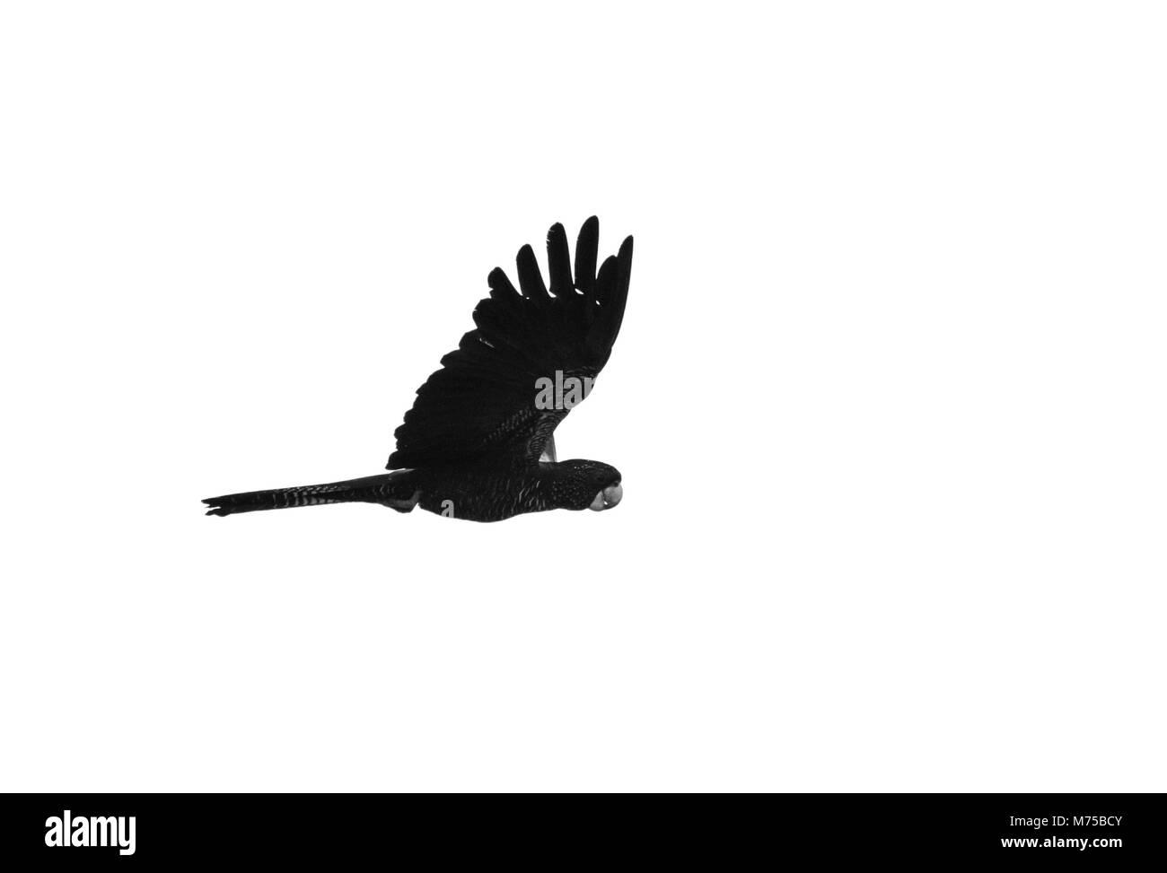 Glossy Black-Cockatoo, Calyptorhynchus lathami - Stock Image
