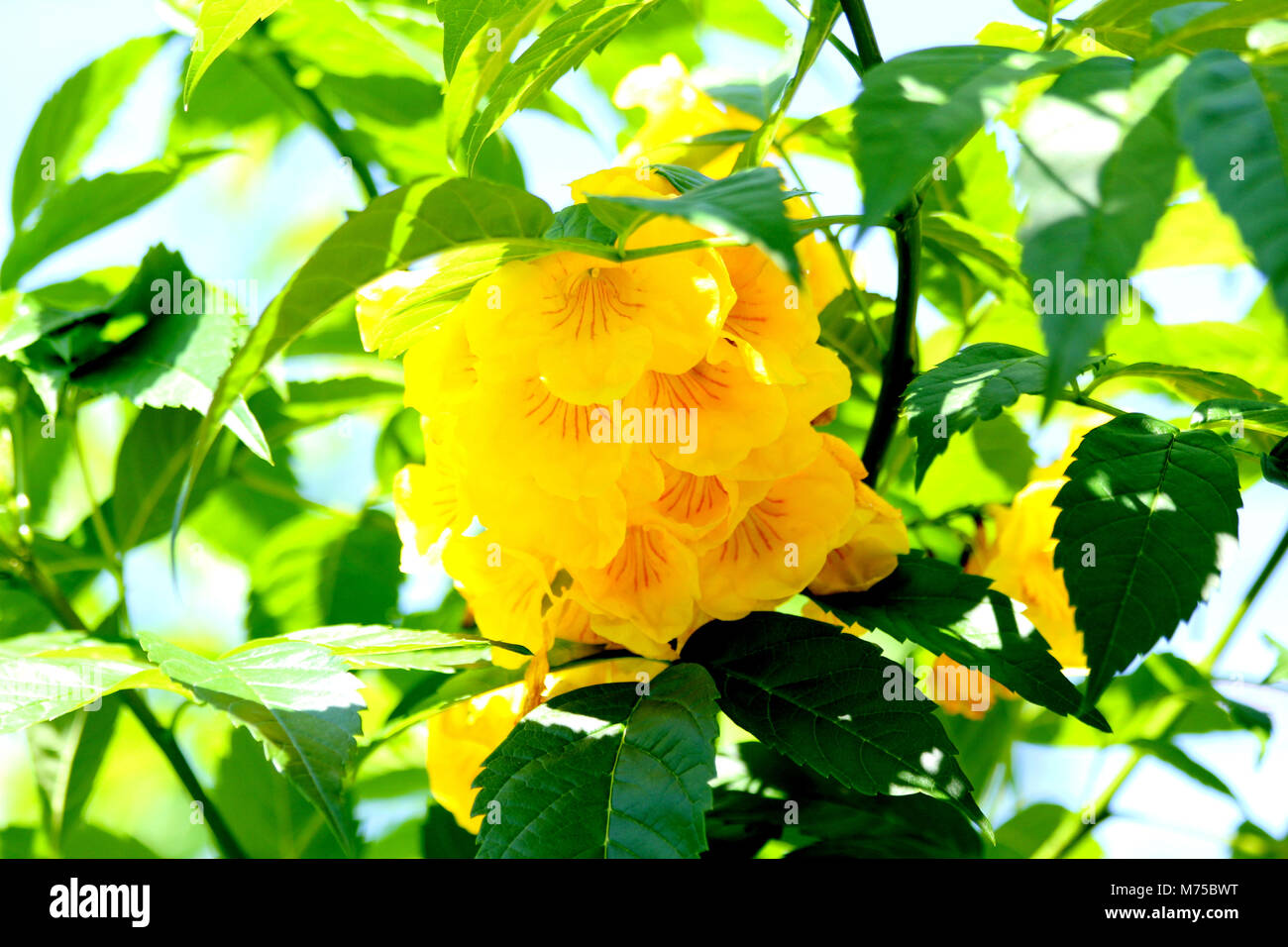 Yellow Bell Flowers Stock Photos Yellow Bell Flowers Stock Images